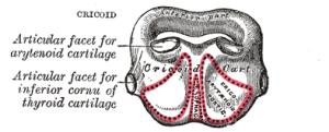 Cricoid Cartilage