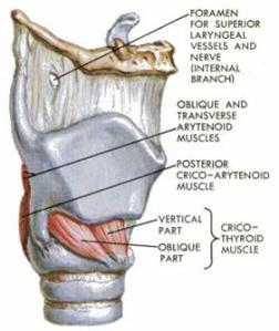 cricothyroid_muscle