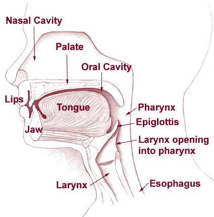 Laryngeal Anatomy 101 | Matthew Edwards Epiglottis