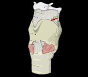 Laryngeal Anatomy Wikimedia
