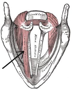 Thyroarytenoid Grays
