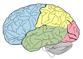 2000px-Lobes_of_the_brain_NL.svg.png