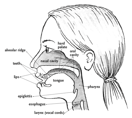 Vocal tract and ears.png